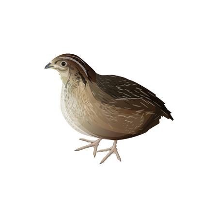 Caille d'oiseau réaliste. Illustration vectorielle isolée sur fond blanc