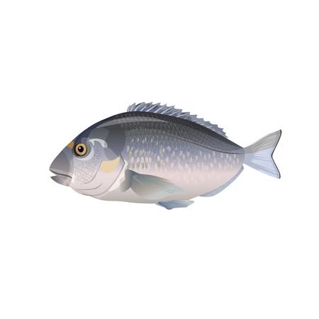 Sea fish gilt-head bream. Vector illustration isolation on the white background