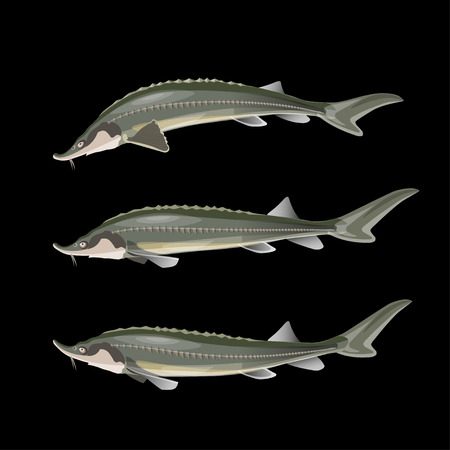 Set of sturgeon fish. Vector illustration isolated on black background