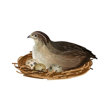 Caille assise sur des œufs au nid. Illustration vectorielle isolée sur fond blanc