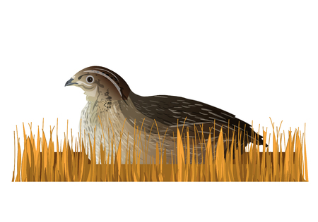 Quail sitting in the dry grass. Vector illustration isolated on white background