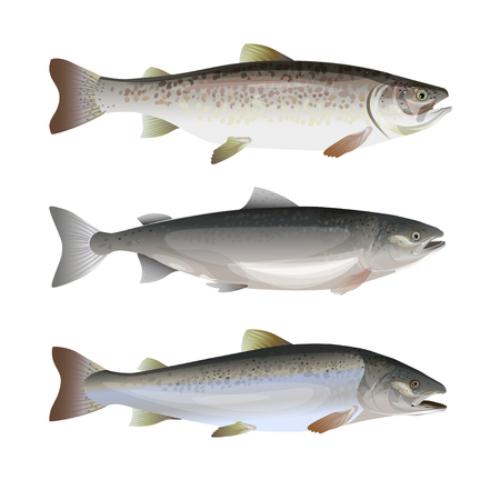Set of fresh salmon fish. Side view. Vector illustration isolated on white background.