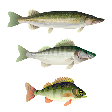 Set of freshwater predatory fish. Pike, zander, perch. Vector illustration isolated on white background Illustration