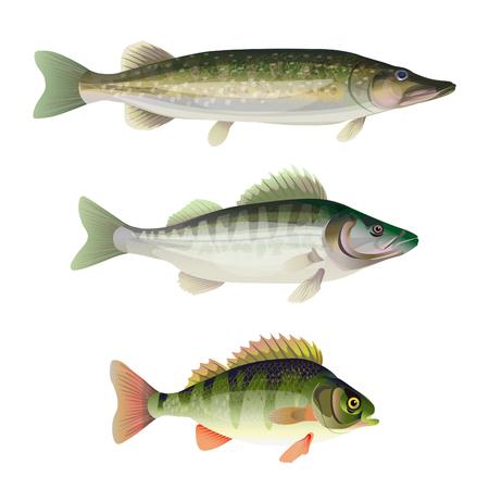 Zestaw ryb drapieżnych słodkowodnych. Szczupak, sandacz, okoń. Ilustracja wektorowa na białym tle Ilustracje wektorowe