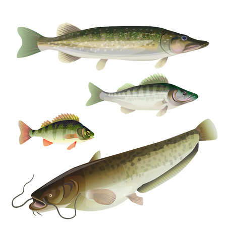 Set of freshwater predatory fish. Pike, zander, perch, catfish. Vector illustration isolated on white background