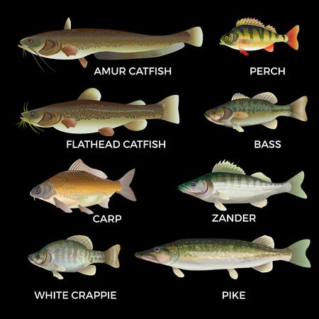 Espèces de poissons d'eau douce. Brochet, sandre, perche, bar, carpe, marigane blanche, poisson-chat. Illustration vectorielle isolée sur fond blanc.