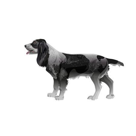 Hunting dog. English springer spaniel stands sideways in full growth. Vector illustration isolated on white background