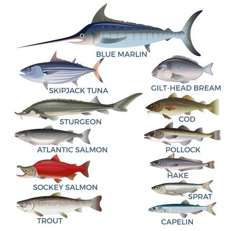 Espèces de poissons commerciaux. Illustration vectorielle isolée sur fond blanc Vecteurs