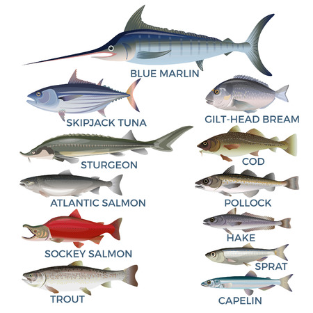 Commercial fish species. Vector illustration isolated on a white background