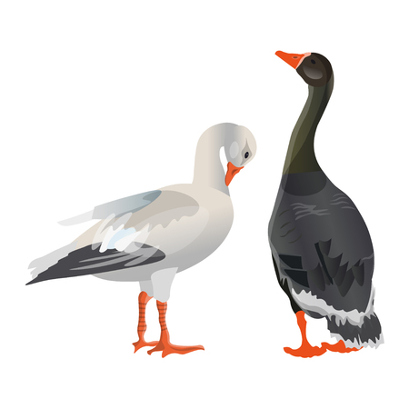 Two geese, one grey the other white. Vector illustration isolated on white background Illustration