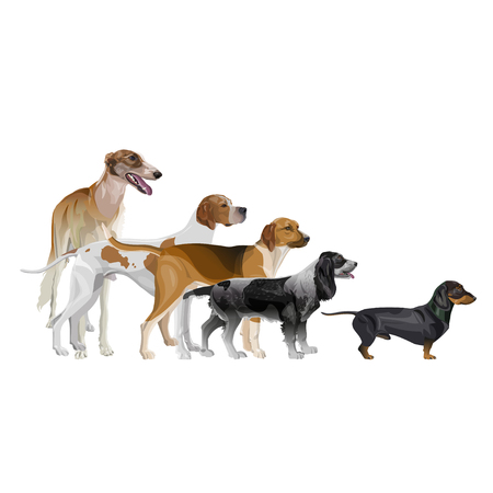 Vector set of standing in line hunting dogs. Greyhound, pointer, scent hound, spaniel and dachshund. Vector illustration isolated on white background