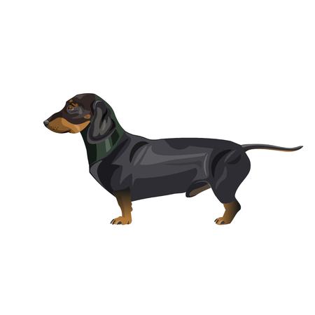 Un perro salchicha miniatura negro y fuego. Ilustración de vector aislado sobre fondo blanco.
