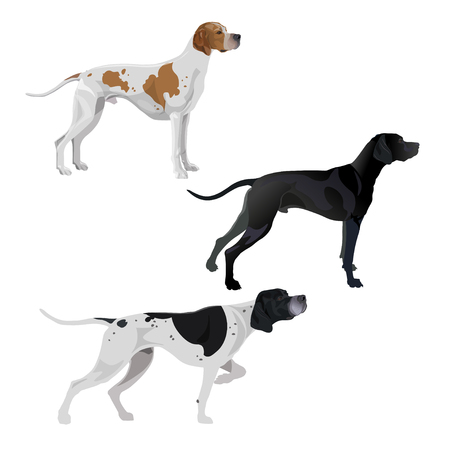 Set of English pointer dogs different coat colors. Vector illustration isolated on white background