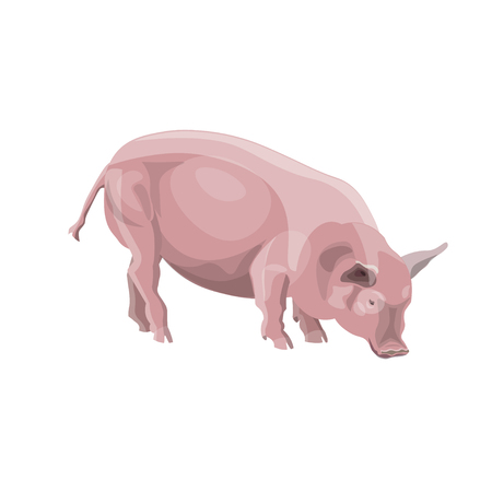 Domestic pink pig. Vector illustration isolated on white background