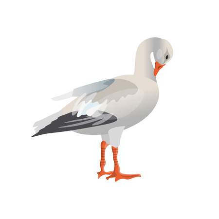 White (snow) goose cleaning its feathers. Vector illustration isolated on white background