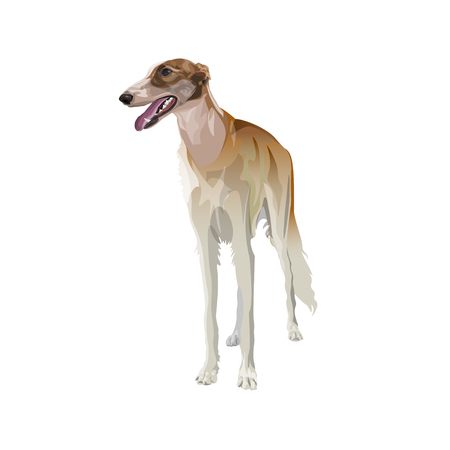 Full-length portrait of sighthound dog, front view. Vector illustration isolated on white background Vector Illustratie