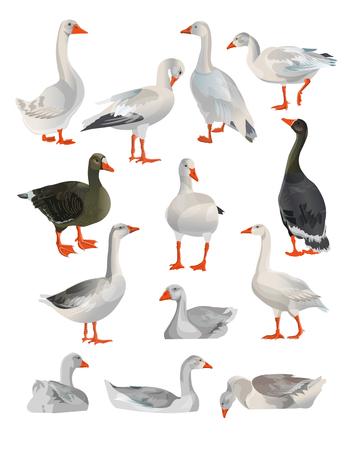 Conjunto de gansos de vector en diferentes poses. Ilustración aislada sobre fondo blanco.