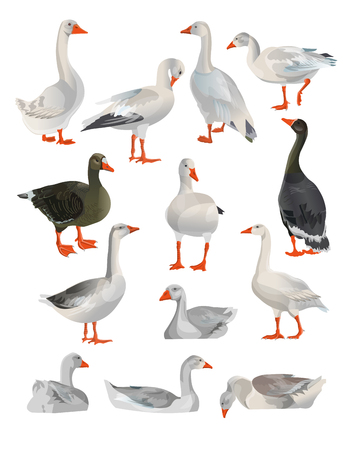 Set of vector geese in different poses. Illustration isolated on white background.