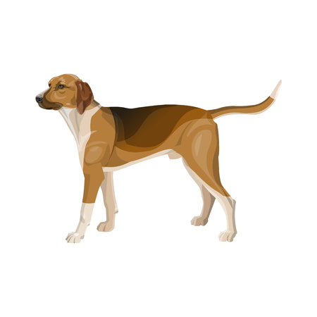 Hunting dog. Scent hound stands sideways in full growth. Vector illustration isolated on white background