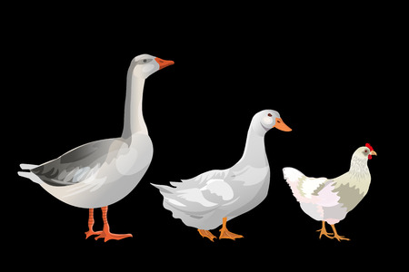 Set of farm birds. Goose, duck, chicken. Vector illustration isolated on black background. Çizim