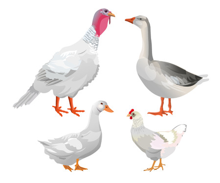Set of farm birds. Turkey, goose, duck, chicken. Vector illustration isolated on white background. Çizim