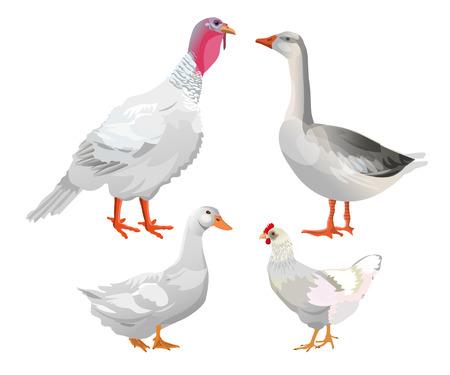 Zestaw ptaków hodowlanych. Indyk, gęś, kaczka, kurczak. Ilustracja wektorowa na białym tle.