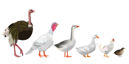 Set of farm birds. Ostrich, turkey, goose, duck, chicken, quail. Vector illustration isolated on white background. Çizim