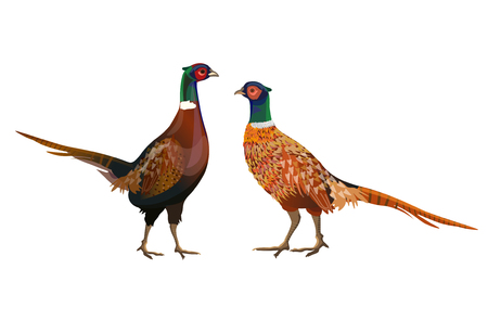 Two male ring-necked pheasants. Vector illustration isolated on white background Illustration