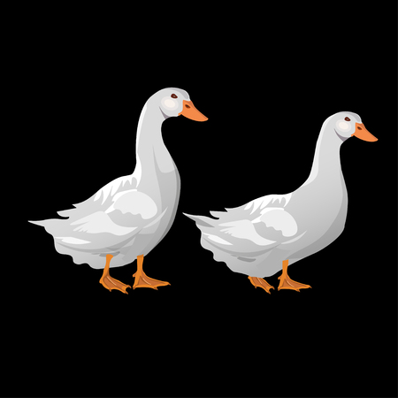 Two domestic white ducks. Vector illustration isolated on the black background Çizim