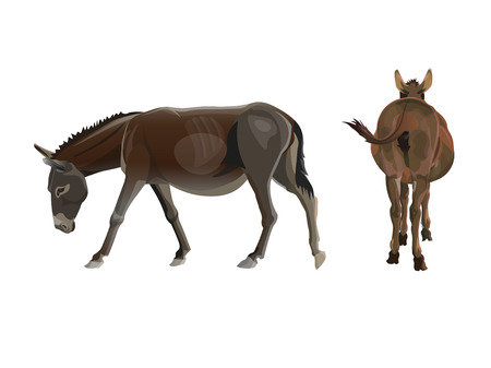 Donkey walking with the head down. Side and rear view. Vector illustration isolated on the white background Ilustração