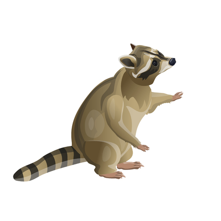 Raccoon standing on hind legs. Vector illustration isolated on white background
