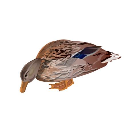 Mallard duck feeding. Vector illustration isolated on the white background  イラスト・ベクター素材