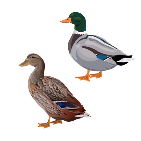 Male and female mallard duck. Vector illustration isolated on the white background