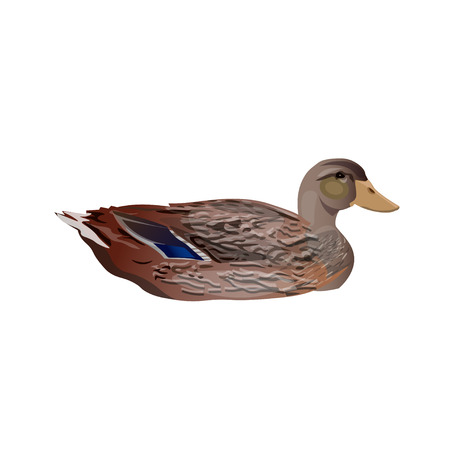 Female wild duck mallard swimming. Vector illustration isolated on the white background 向量圖像