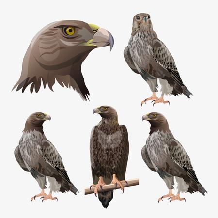 Ensemble d'aigles dans différentes poses. Illustration vectorielle isolée sur fond blanc