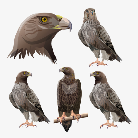 Set of eagles in different poses. Vector illustration isolated on the white background