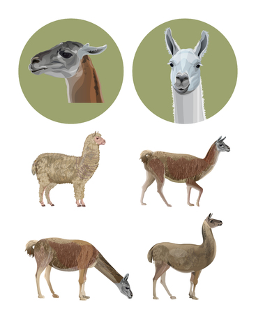 Set of vector llamas in various poses. Vector illustration isolated on white background
