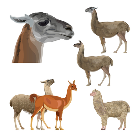 Set of vector llamas, alpaca and guanaco in various poses. Vector illustration isolated on black background