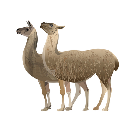 Two standing llamas, side view. Vector illustration isolated on the white background  イラスト・ベクター素材