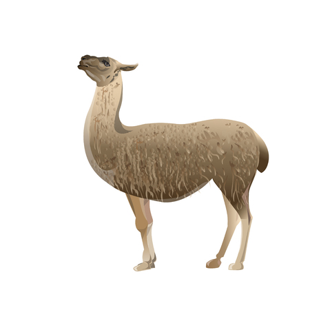 Llama standing, side view. Vector illustration isolated on the white background