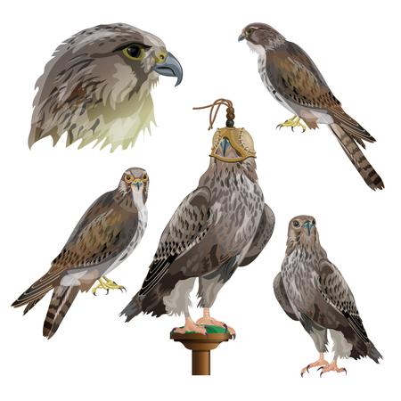 Greifvögel und Falknerei. Satz der Vektorillustration lokalisiert auf weißem Hintergrund.