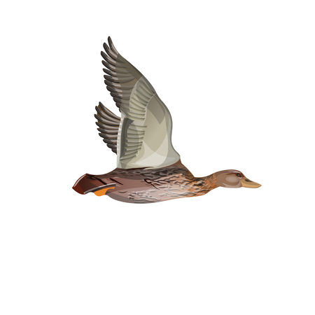 Mallard duck flight. Vector illustration isolated on the white background Иллюстрация