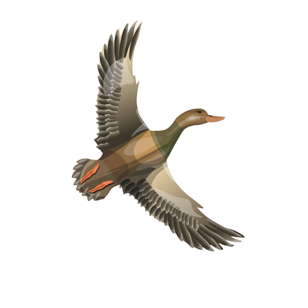 Flying wild duck (mallard). Vector illustration isolated on the white background