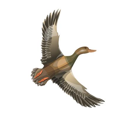 Pato salvaje volador (ánade real). Ilustración de vector aislado sobre fondo blanco.