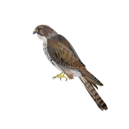 Falcon isolated on white background. Vector illustration Illustration
