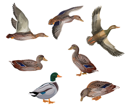 Set of mallard ducks in different poses. Vector illustration isolated on the white background