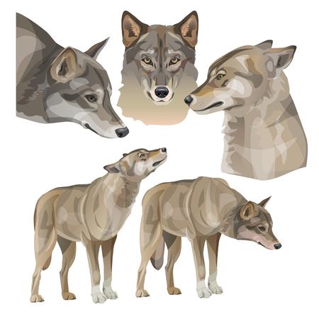 Set of vector gray wolves. Illustration isolated on white background Vektorové ilustrace