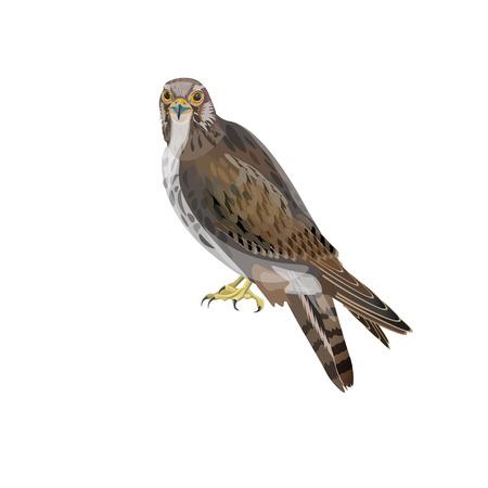 Falke sitzt. Vektorillustration lokalisiert auf weißem Hintergrund.