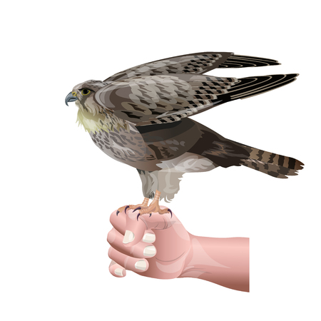 Hunting falcon sits on male hand. Vector illustration isolated on white background.