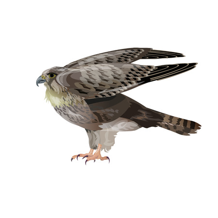 Falcon spreading wings. Vector illustration isolated on white background